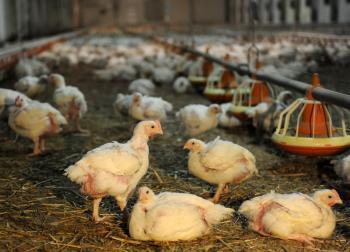 Kurčatá na farme pri Kežmarku - ilustračné foto