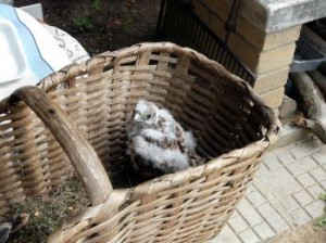 Sokol myšiar v košíku