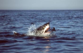 Žralok biely ulovil tuleňa