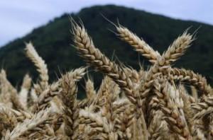 Bohaté klasy pšenice v Šarišských Michaľanoch