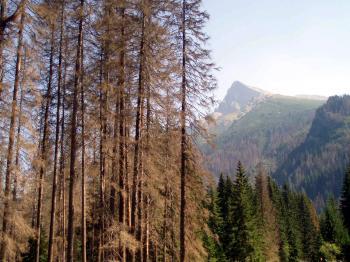 Lykožrút preruší dodávku živín a stromy potom vysychajú