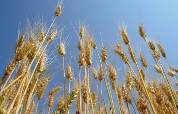 Výsev pšenice bol najväčší zo všetkých obilnín v Trnavskom kraji