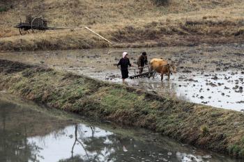 Na našom vidieku je už oranie s volom dosť zriedkavé, v KĽDR nie. Roľníci nedokážu dopestovať takto dosť potravín pre rozrastajúcu sa populáciu