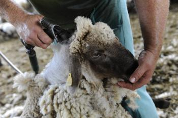 Práca s ovcami musí byť aj koníčkom. Napríklad cena vlny ledva pokryje prácu strihačov