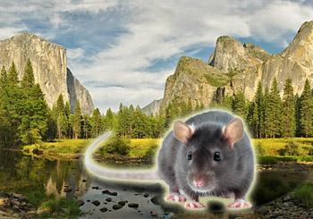 Novým postrachom Yosemitského národného parku sú hlodavce