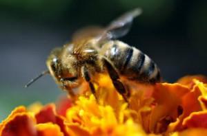 Včielka si sadá na prirodzené či modifikované potraviny. Peľ ako peľ a med ako med