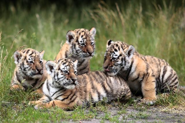 Na snímke štyri mláďatká tigra usurijského
