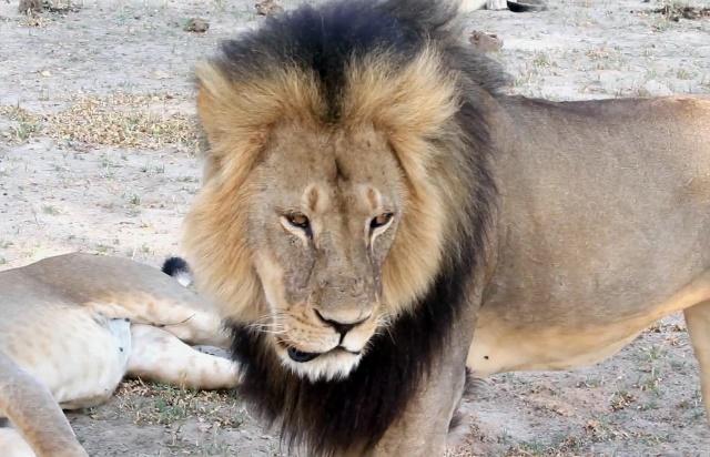 Na videosnímke z roku 2012 lev známy ako Cecil v národnom parku Hwange