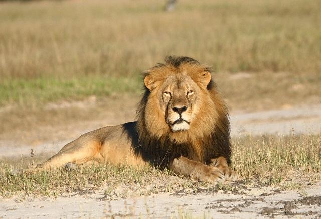 Na nedatovanej snímke lev známy ako Cecil v národnom parku Hwange