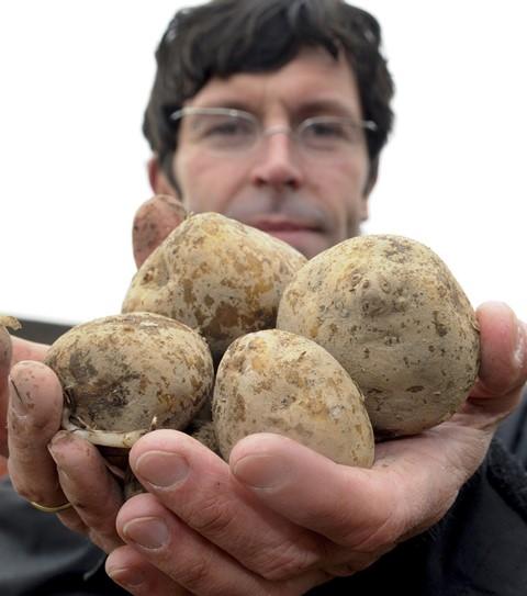 Na snímke geneticky modifikované zemiaky