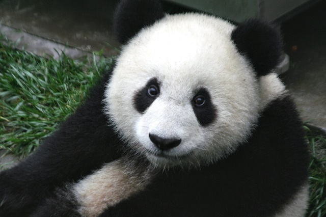 Panda veľká je známy ohrozený živočíšny druh