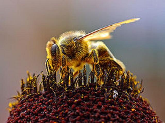 Včelu medonosnú, usilovný užitočný hmyz, poznali už ľudia v mladšej dobe kamennej