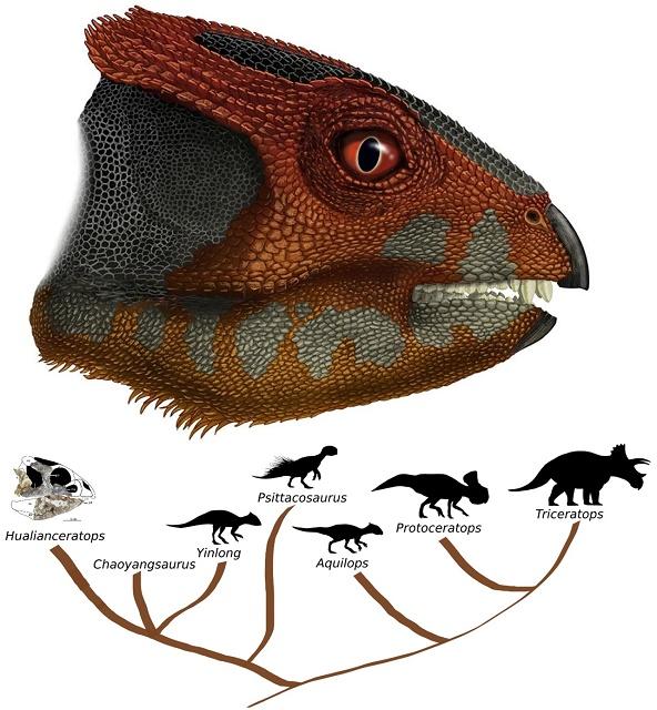 Na obrázku hlava novoobjaveného druhu dinosaura Hualianceratops spolu s rodostromom