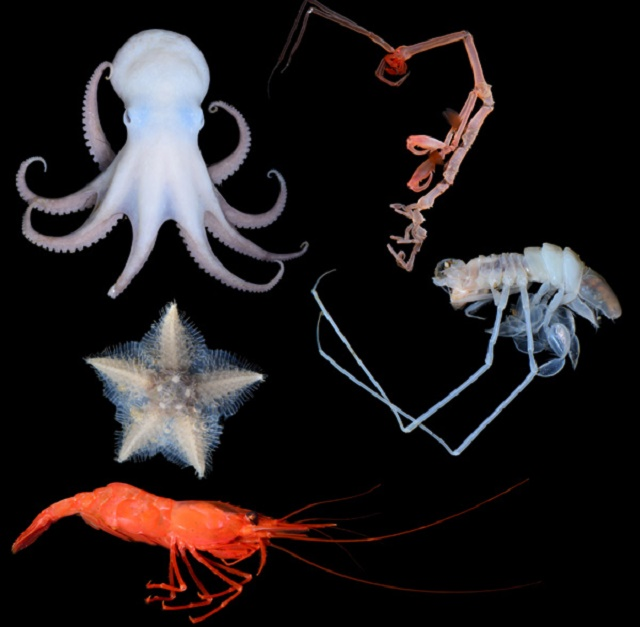 V hlbinách mora žijú aj bizarné druhy chobotníc, hviezdíc či kreviet