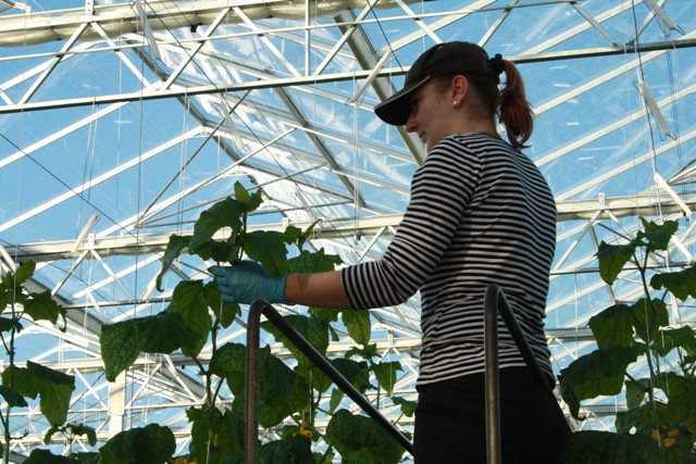 Na snímke pracovníčka spoločnosti Agro-Rybia farma oberá uhorky v skleníku v areáli rybej farmy v Handlovej