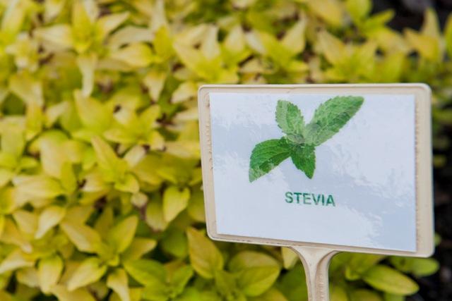 Na snímke stévia cukrová (Stevia rebaudiana Bertoni)