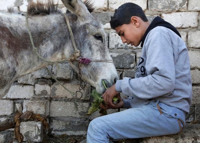 Na snímke farmár Ahmed Ajman kŕmi svojho somára pred tréningom
