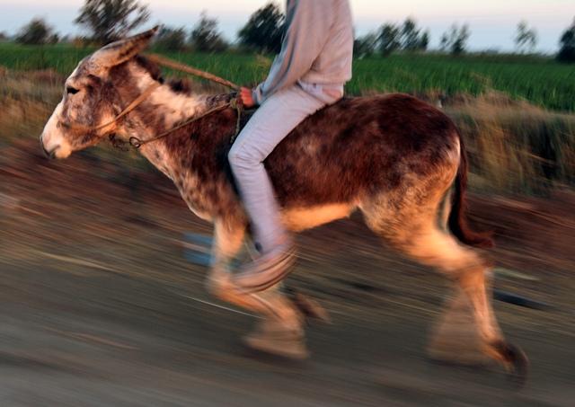 Na snímke farmár Ahmed Ajman jazdí na svojom trénovanom somárovi