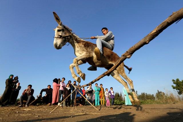 Na snímke farmár Ahmed Ajman skáče so svojím somárom