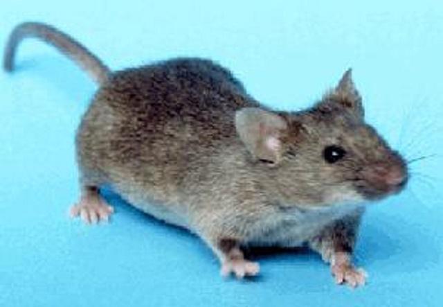 Na vine je maličká myška