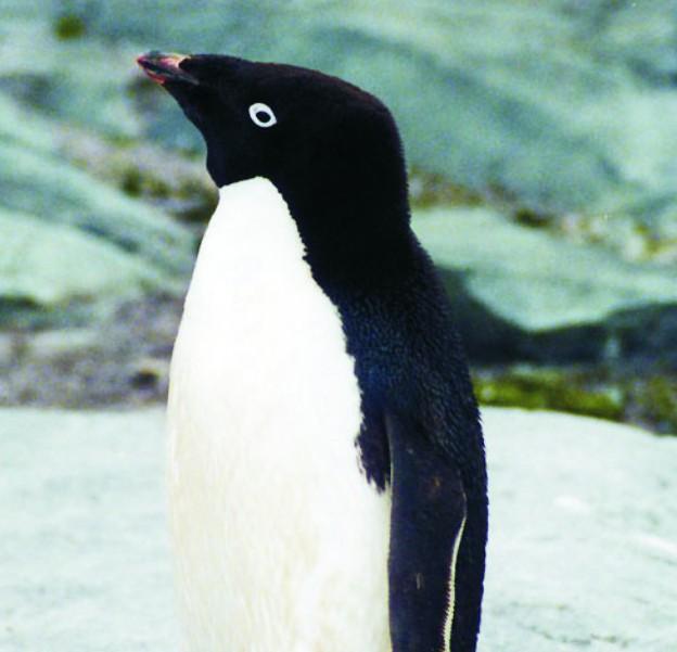 Tučniak okatý (Pygoscelis adeliae) je druh tučniaka z rodu Pygoscelis