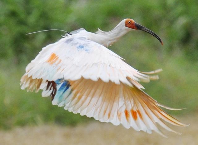 Na snímke ibis. Ilustračné foto
