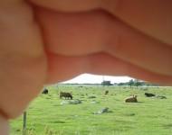 """Typické huňaté """"írske"""" kravičky sa vyskytujú aj v Estónsku. Hrubá srsť ich chráni pred chladom a silným vetrom"""