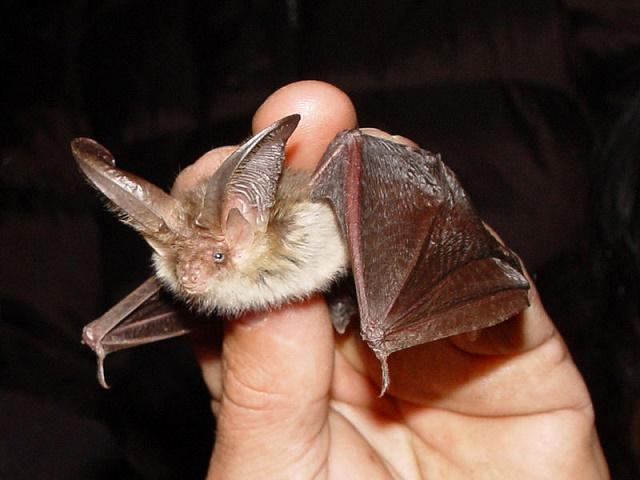Na snímke netopier svetlý (Plecotus auritus)