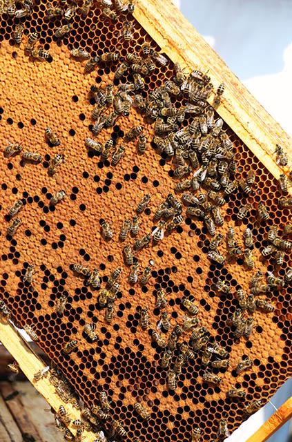 včelí plást s novými plôdikmi