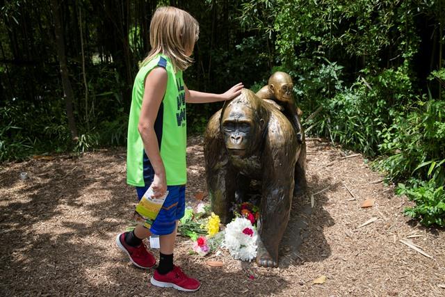 Na snímke dieťa sa dotýka sochy gorily v zoologickej záhrade mesta Cincinnati v americkom štáte Ohio, kde utratili 17-ročného samca gorily, lebo ohrozil na živote trojročného chlapca, ktorý sa mu dostal do výbehu