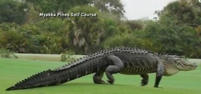 Takto obrieho aligátora zaznamenala ABC News pred rokom