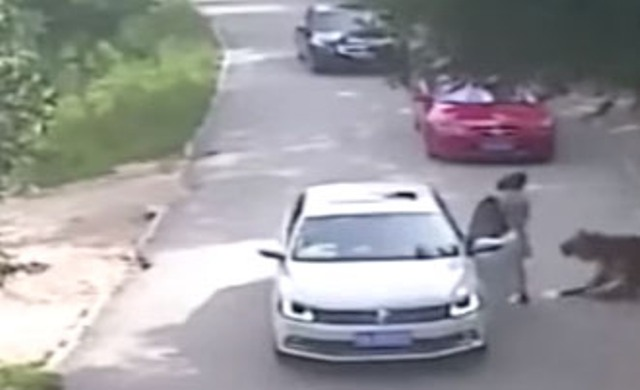 Tigre napadli v safari parku v čínskom Pekingu dve ženy