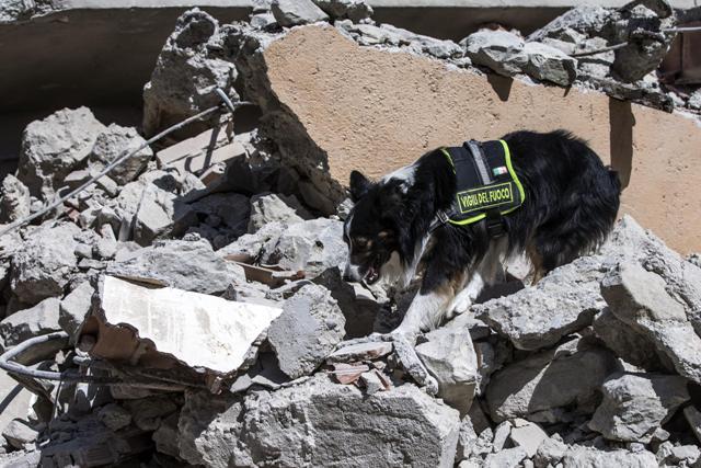 Stopovací pes hasičov prehľadáva trosky zrútenej budovy po zemetrasení v meste Arquata, v centrálnom Taliansku