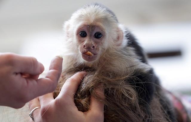 Ilustračné foto opice malpa kapucínska