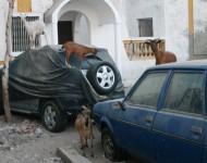 Na snímke zvieratá sa prechádzajú po ulici