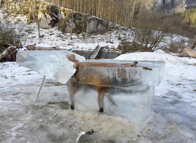 Na snímke líška v bloku ľadu po tom, ako sa utopila, keď sa pod ňou preboril ľad