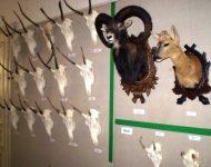 """Výstava """"Trofeje poľovnej zveri"""""""