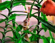 Na snímke  kŕmenie chameleóna