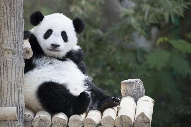 a2186135e Po prvý raz nasnímali albínsku pandu veľkú - Hlavné správy