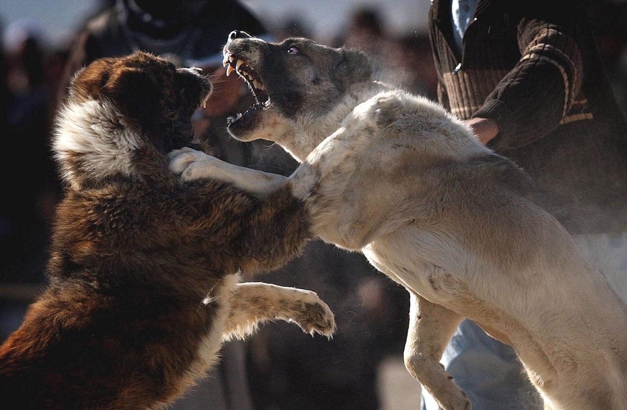 psie zápasy psy