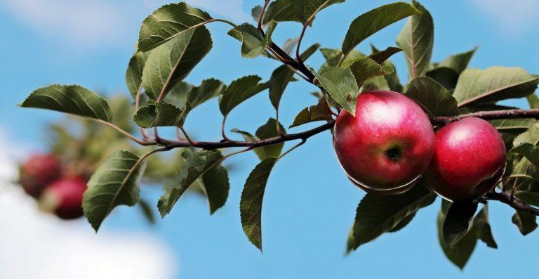jasno polojasno jablko jabloň