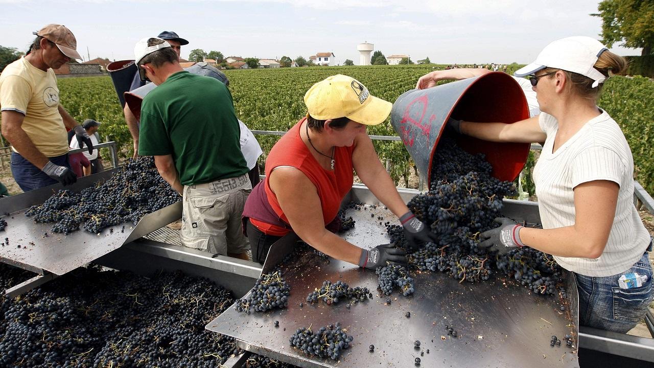 hrozno vinič vinohrad sezónne práce
