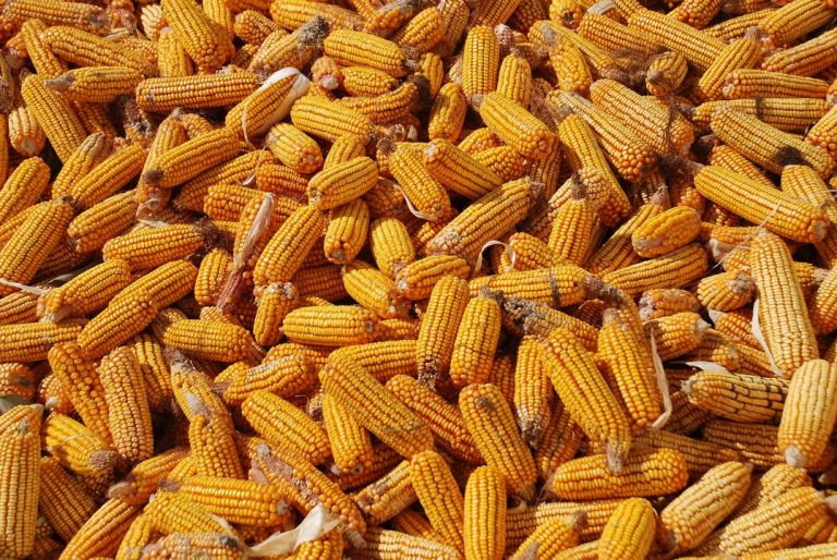 výskum, kukurica, strava