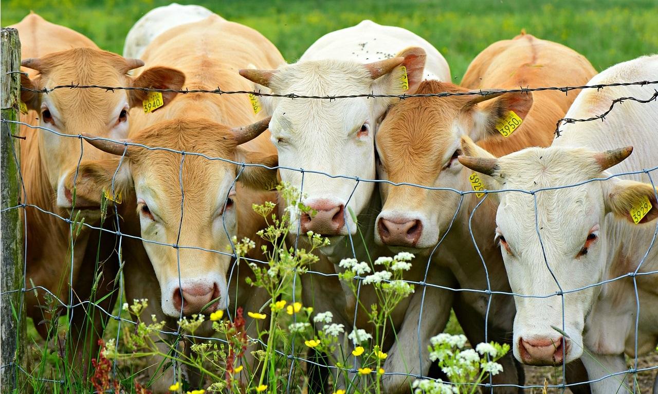 dobytok kravy