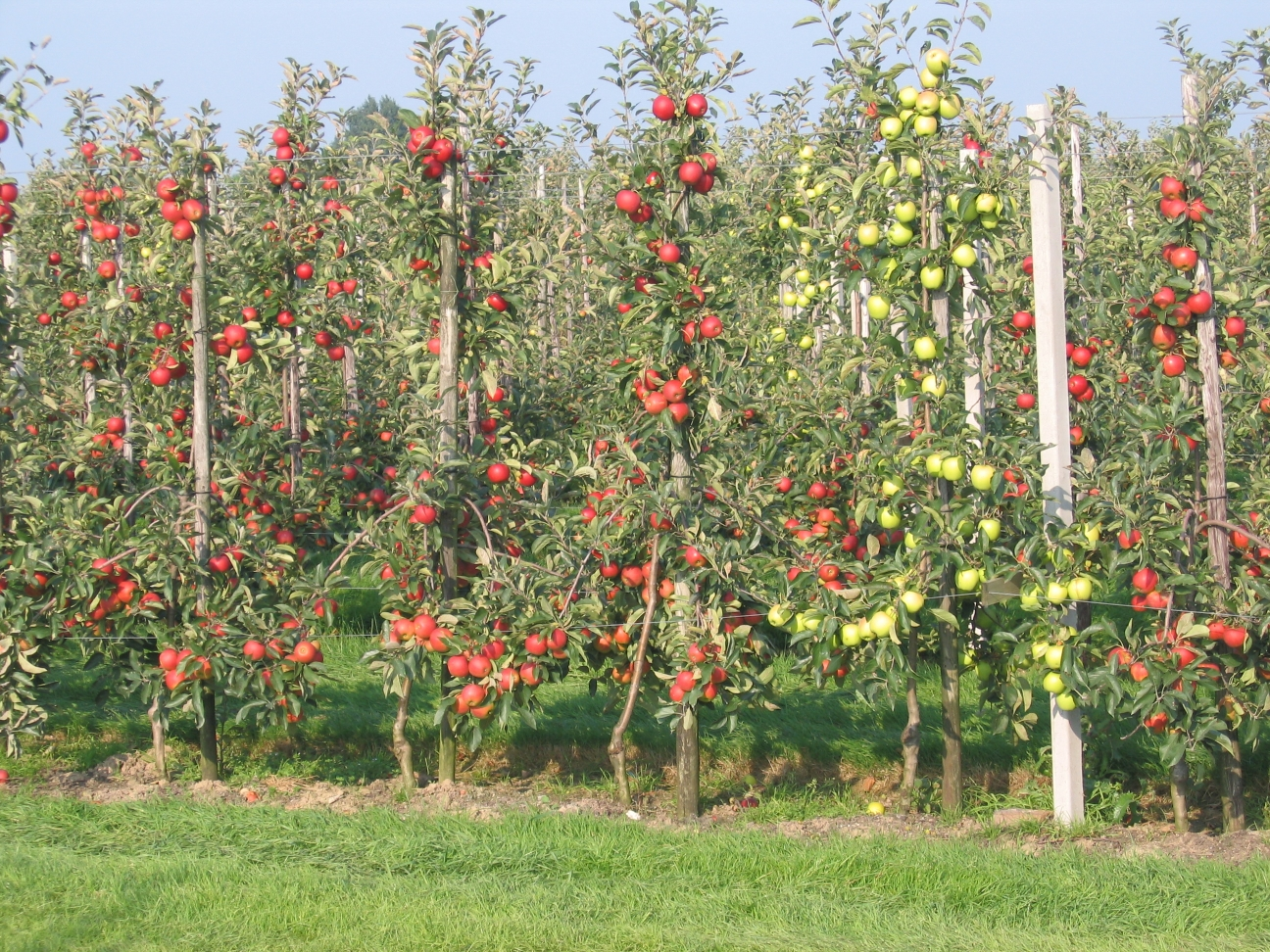 Intensive_apple_orchard