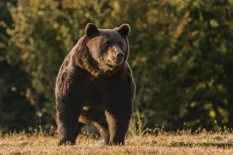 Medveď hnedý menom Arthur