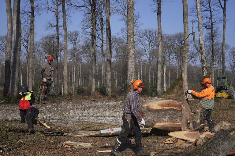 Lesníci stoja vedľa zotnutého duba v lese