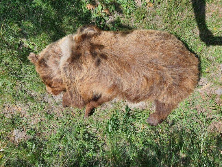 mŕtva medvedica, zastrelená uviedla polícia