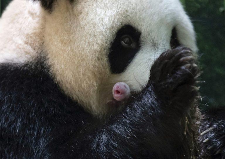 Panda Chuan Chuan